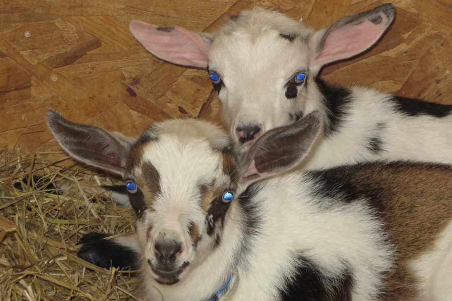 Pretty baby goats