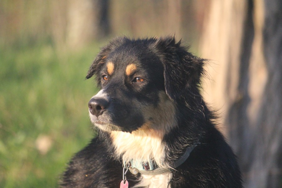 Elsie, our Australian Shepherd